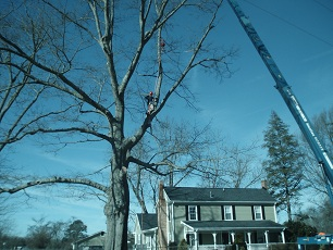 Wide shot of tree removal using a crane